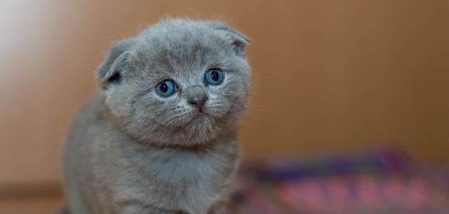 أجمل القطط الصغيرة فالعالم  موضوع